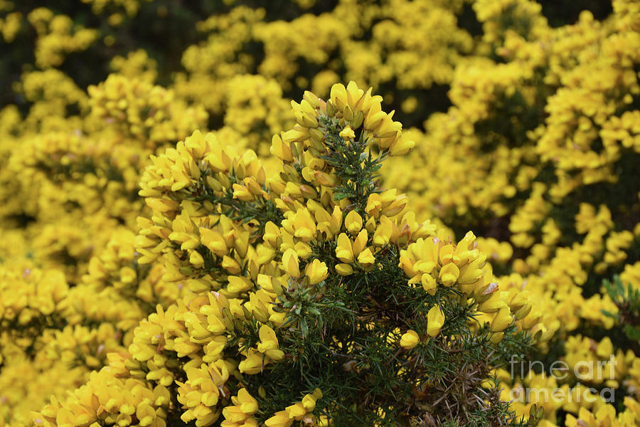 Brilliant Flowering Yellow Thorny Gorse Bush In England Photograph