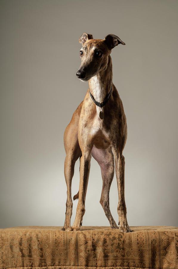 Brindle Greyhound Portrait by Craig Brewer