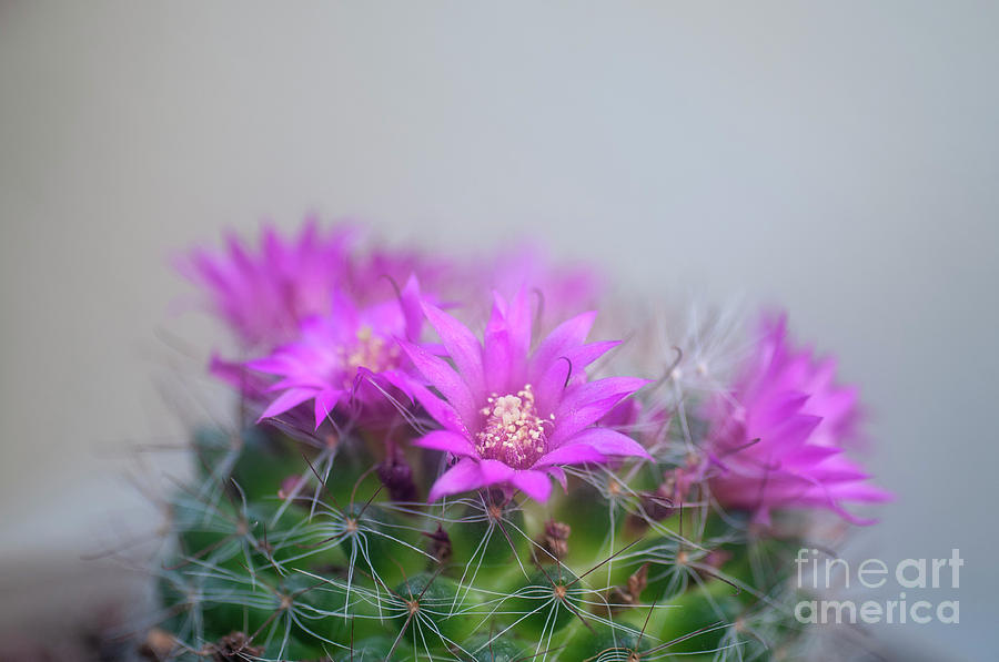 bristle brush cactus mammillaria spinosissima j photograph by