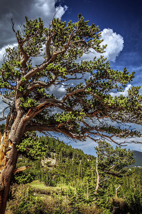 Bristlecone Trees by Jeanette Fellows