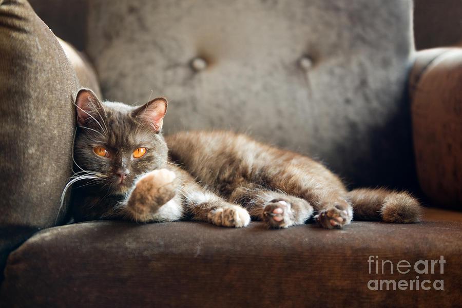 Fur Photograph - British Cat At Home by Nina Anna