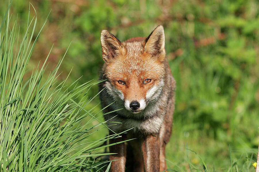 British Red Fox Photograph by Gp232