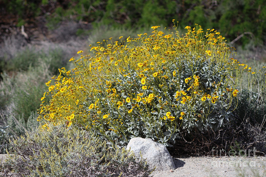 Brittle Bush At Coachella Wildlife Preserve by Colleen Cornelius