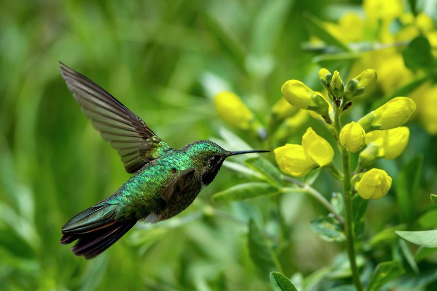 Broad Billed Hummingbird by David Morefield