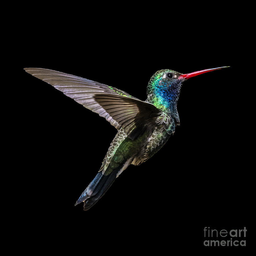 Broad-billed Hummingbird Fllght by Lisa Manifold