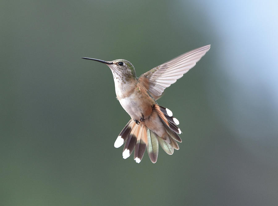 Broad-Tailed Hummer by Ben Foster