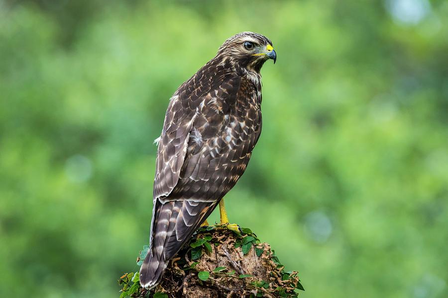 Broad-Winged Hawk by David Morefield