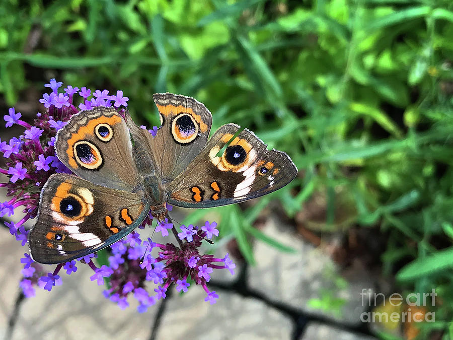 Broken Buckeye Butterfly 2019 by Karen Adams