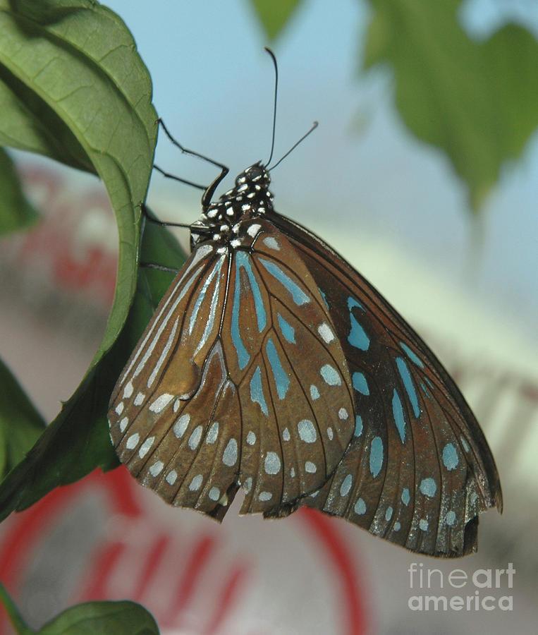Blue Tiger Butterfly by Steve Edwards