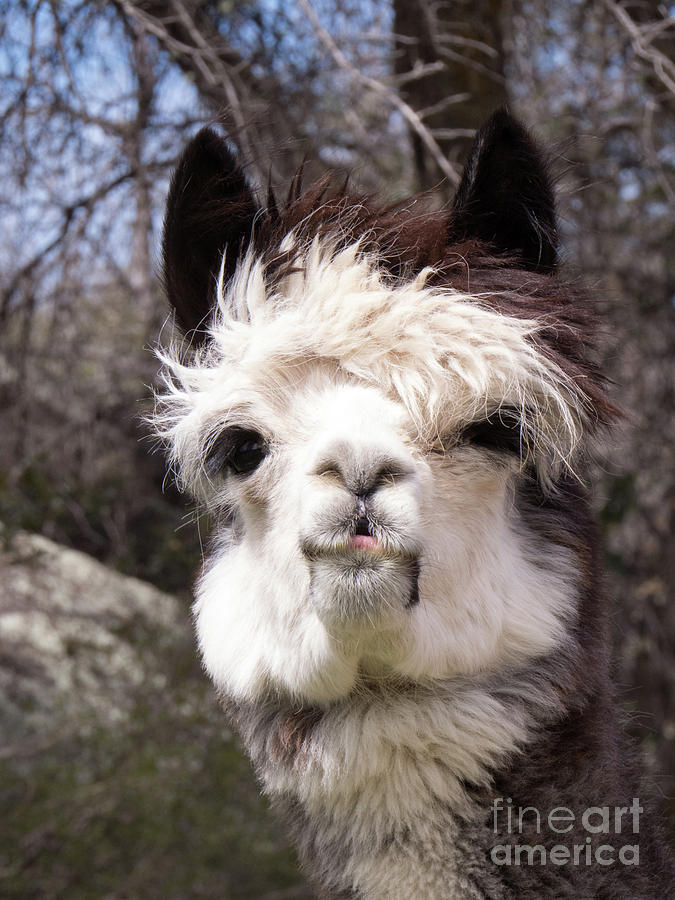 Brown and White Alpaca Face by Christy Garavetto
