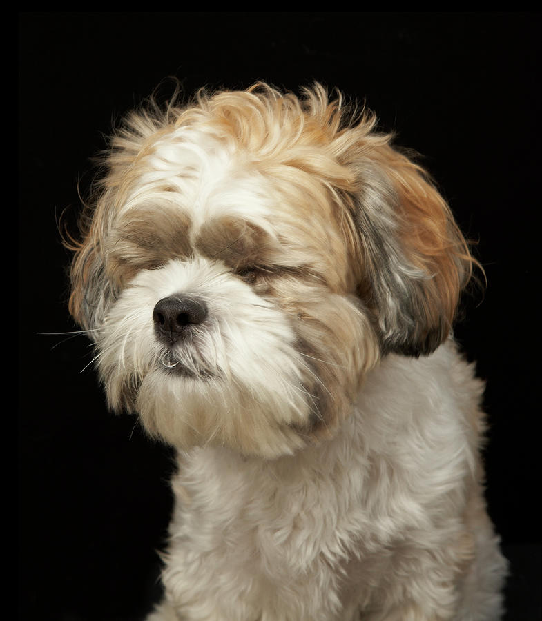 Brown And White Shih Tzu With Eyes Photograph by M Photo