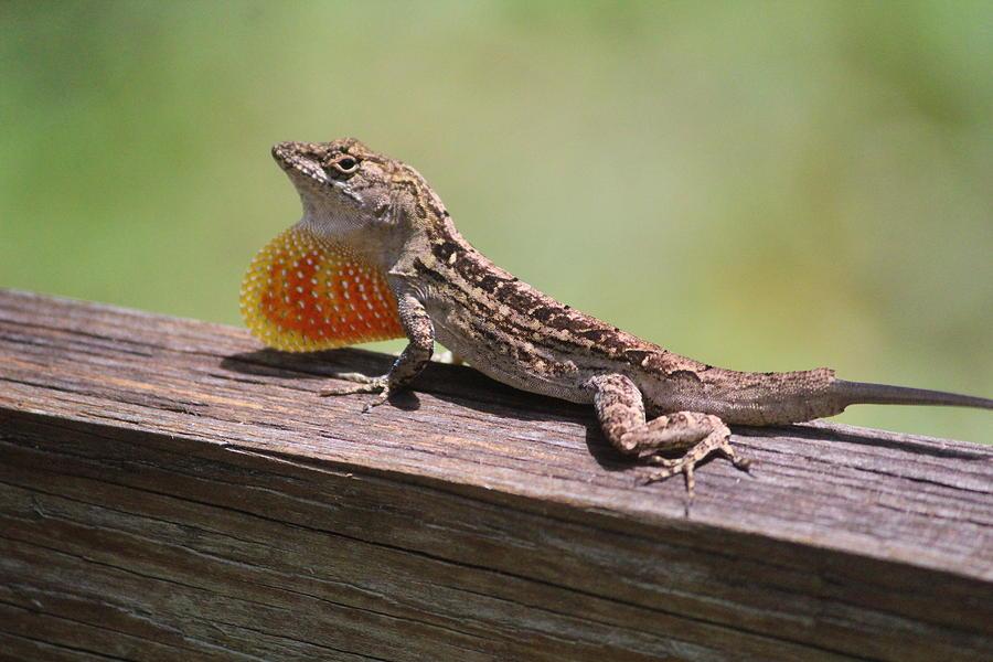 Lizard Photograph - Brown Anole by Callen Harty