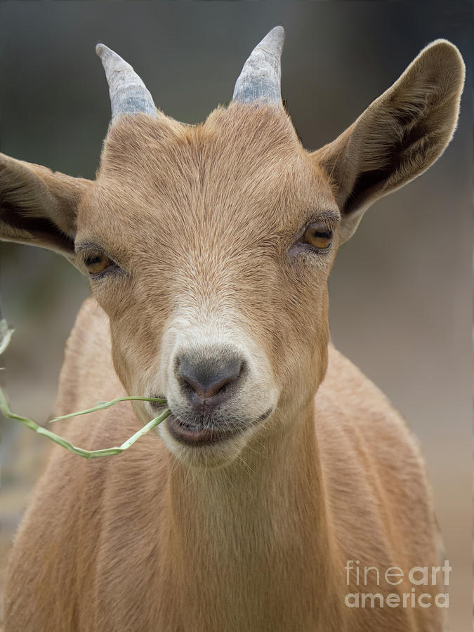 Brown baby Goat  by Christy Garavetto