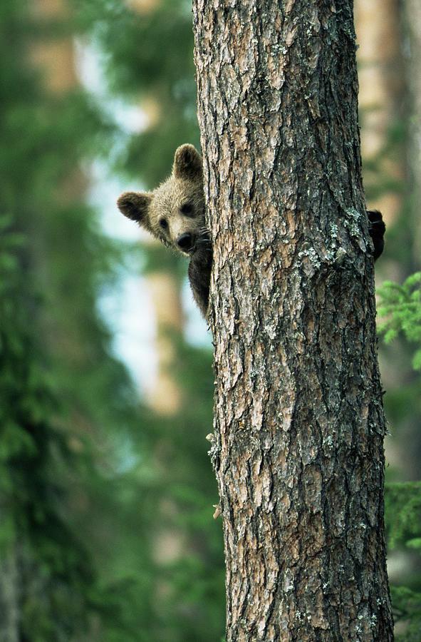 Brown Bear Cub In Tree Ursus Arctos Photograph by James Warwick