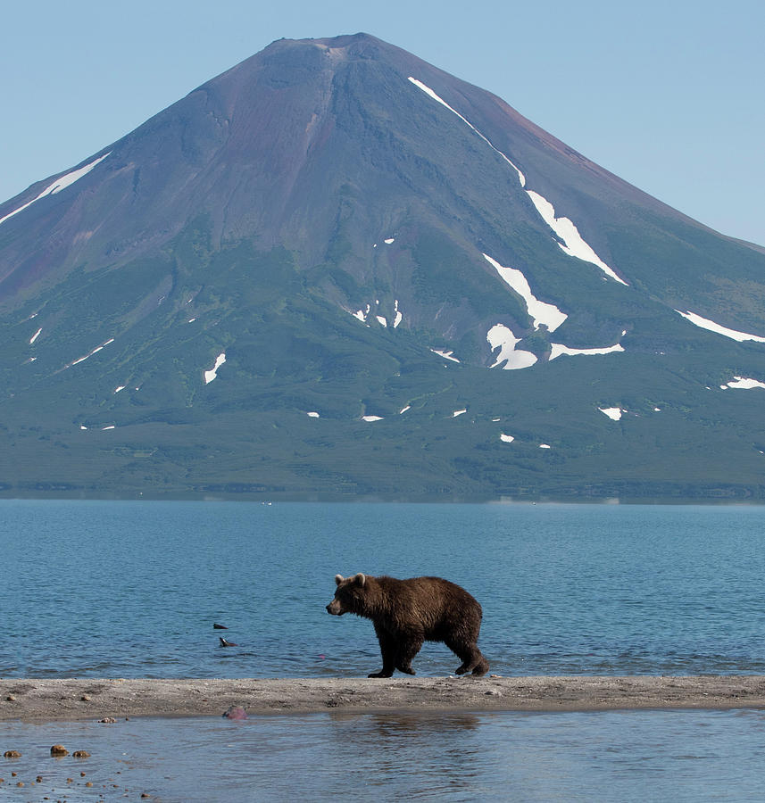 Brown Bear In Front Of Volcano Photograph by Richard Mcmanus