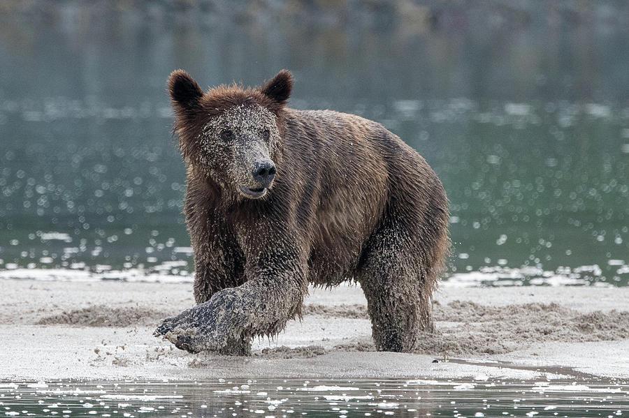 Brown Bear in Pumice by Mark Hunter