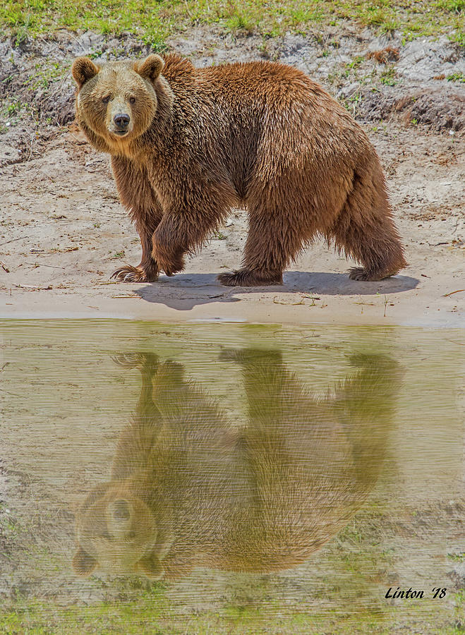 BROWN BEAR REFLECTION by Larry Linton