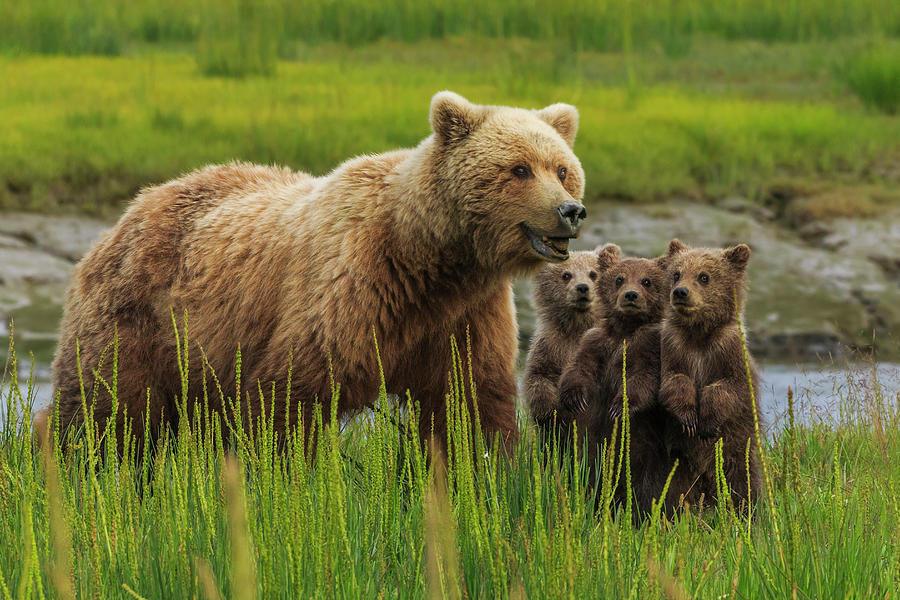Brown Bear Sow And Cubs, In The Long Photograph by Mint Images - Art Wolfe