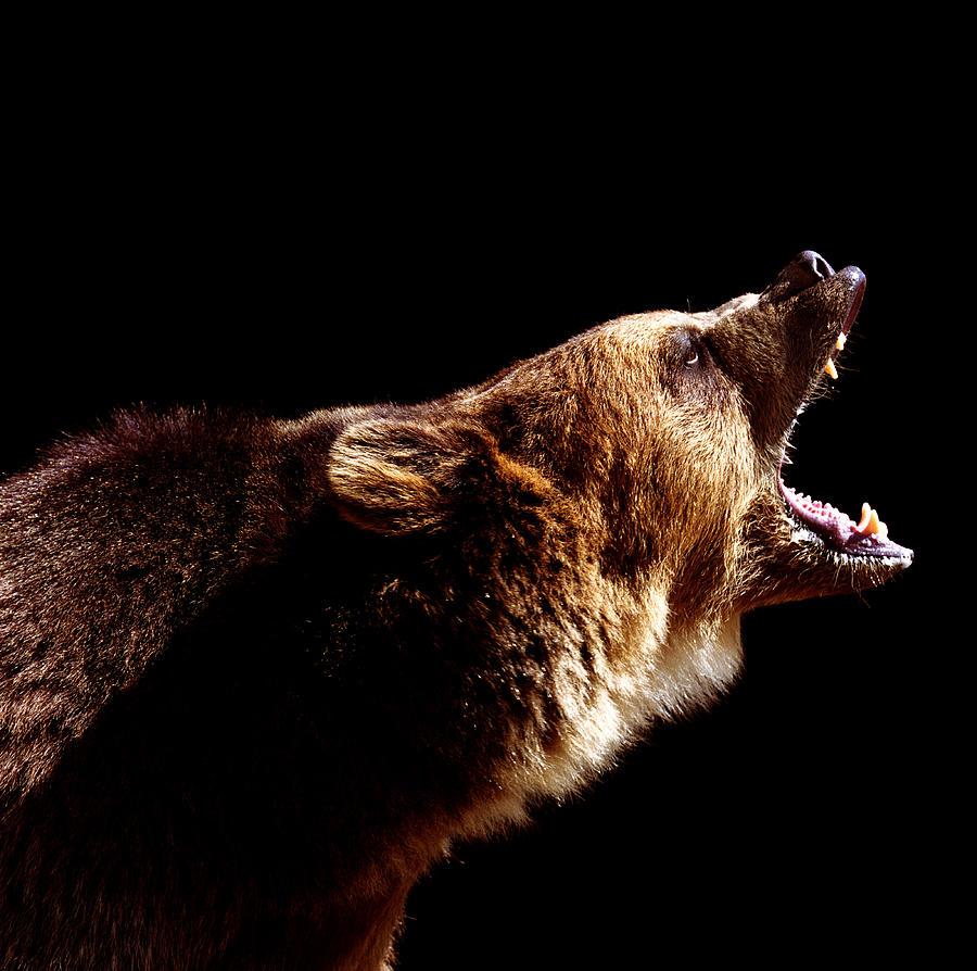 Brown Bear Ursus Arctos Roaring, Side Photograph by Ryan Mcvay