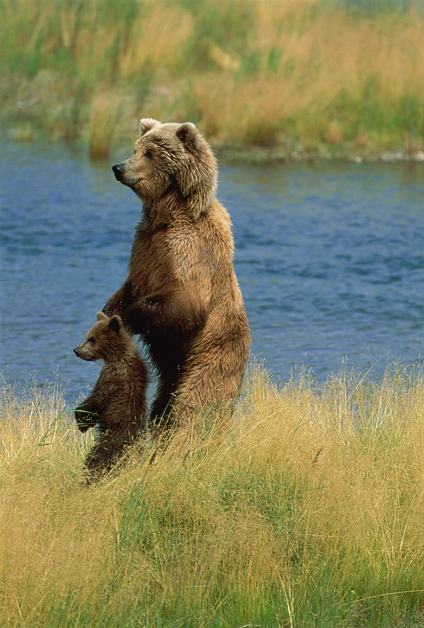 Brown Bear Ursus Arctos Sow And Cub Photograph by Paul Souders