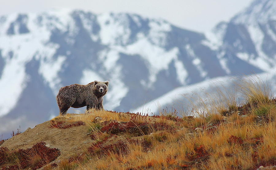 Brown Bear Photograph by Zahoor Salmi