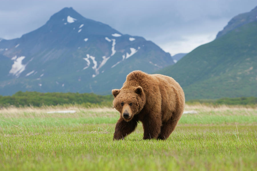 Brown Bears, Katmai National Park Photograph by Mint Images/ Art Wolfe