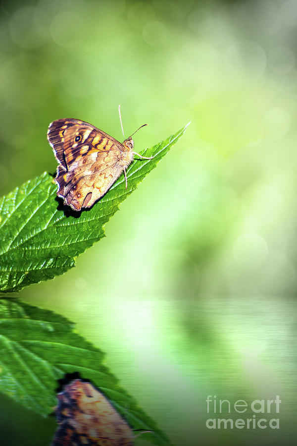 Brown butterfly insect on leaf with fresh water reflection by Gregory DUBUS