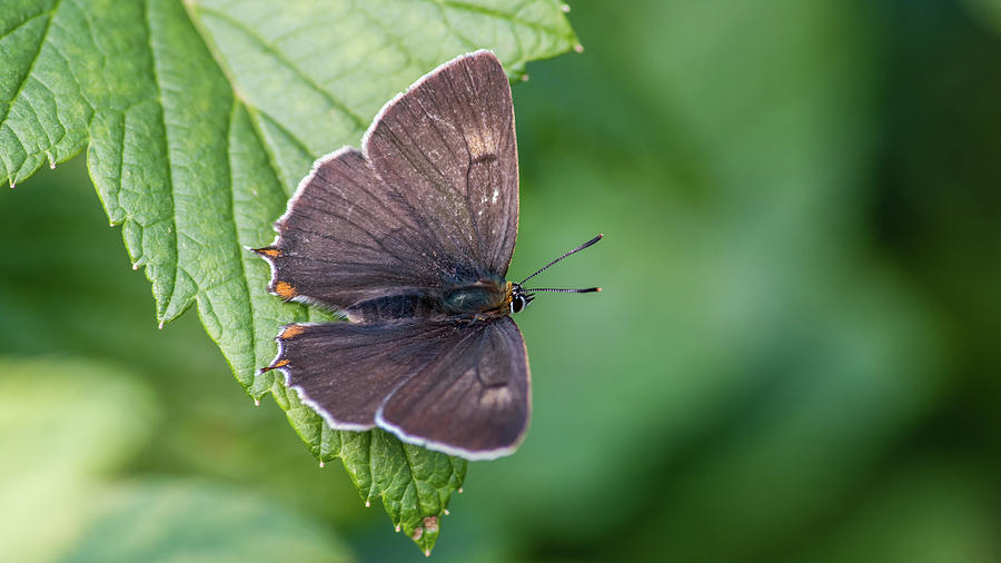 Brown Hairstreak, the male is dark brown on the upperside with o by Torbjorn Swenelius