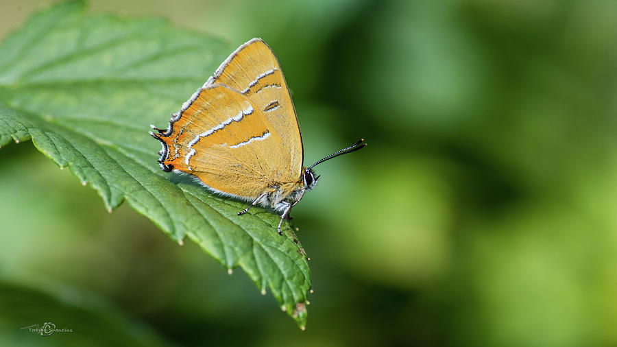 Brown Hairstreak, the male, on the blackcurrent leaf by Torbjorn Swenelius