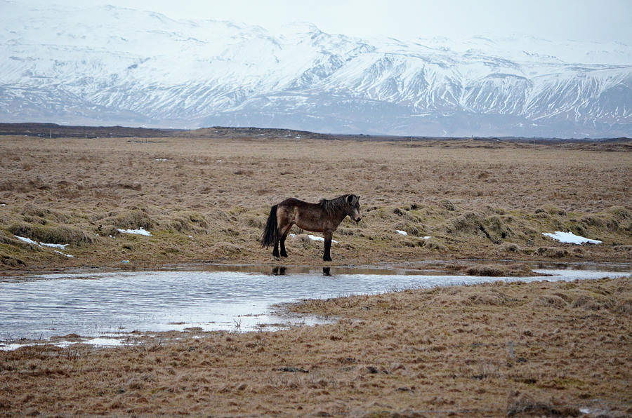 Iceland Photograph - Brown Icelandic Horse In Profile Near Stream by Shawn OBrien