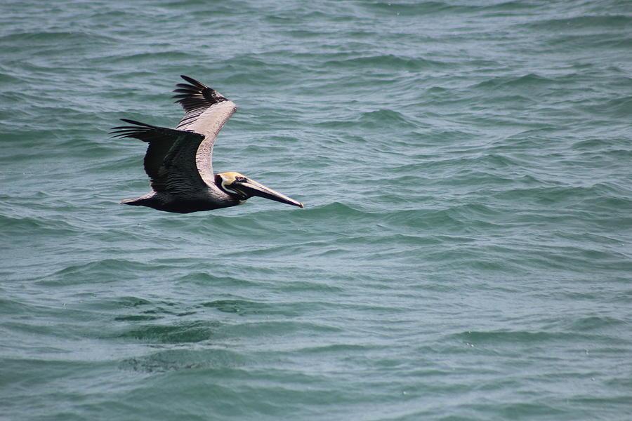 Pelican Photograph - Brown Pelican by Callen Harty