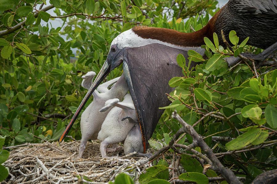 Brown Pelican Feeding Chicks Photograph by Tui De Roy