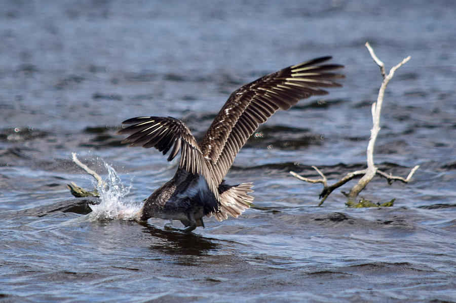 Brown Pelican Fishing Photograph