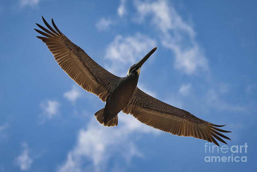 Brown Pelican Photograph - Brown Pelican In Flight by Kelly Pennington