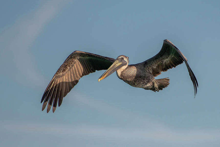 Brown Pelican in Flight by Ken Stampfer