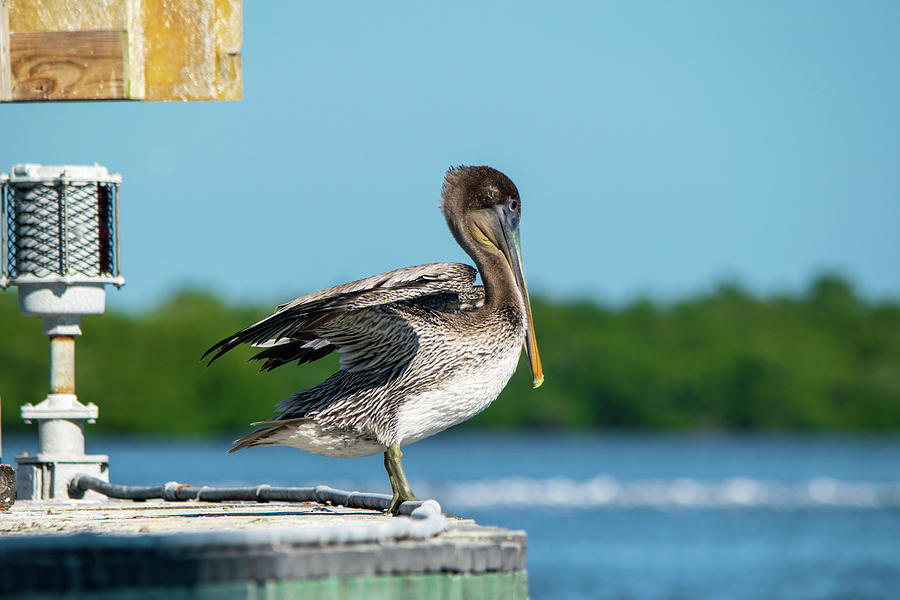Brown Pelican In The Channel Photograph