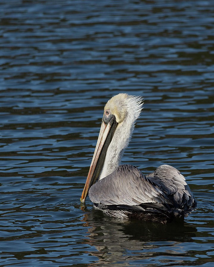 Brown Pelican by Jemmy Archer