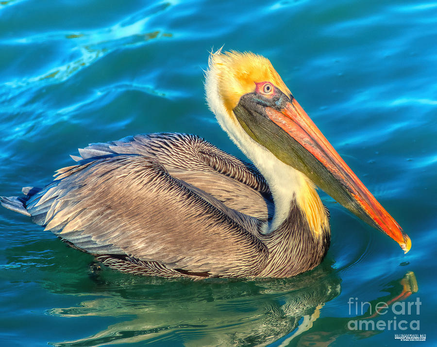 Avian Photograph - Brown Pelican - North American Bird Of The Pelican Family by Stefano Senise