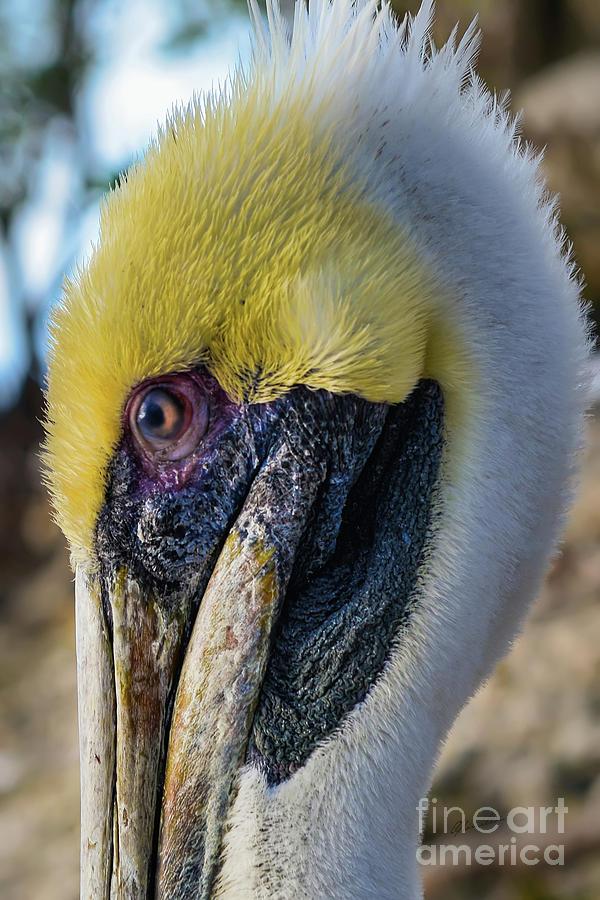 Brown Pelican Portrait  by Olga Hamilton