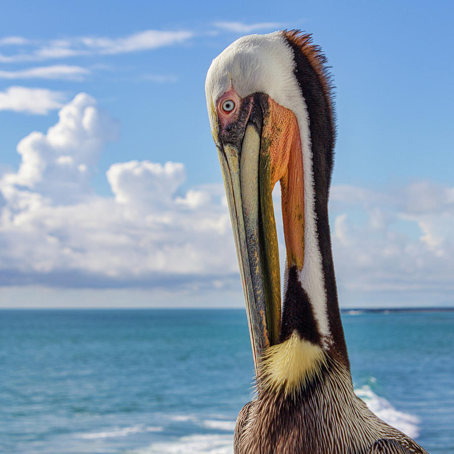 Brown Pelican Portrait by Randy Bayne