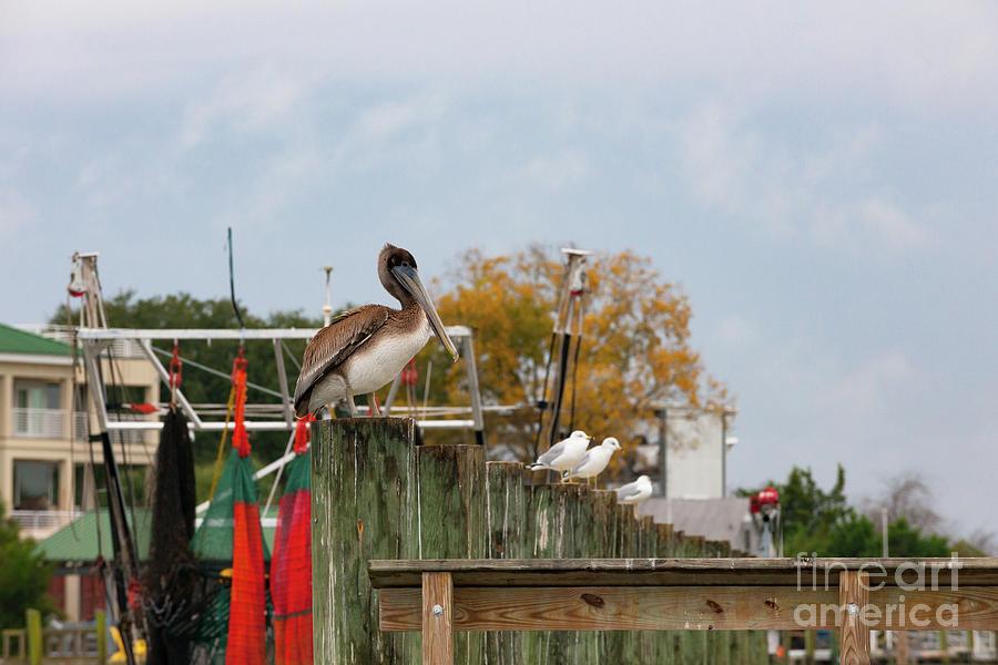 Brown Pelican - Shem Creek by Dale Powell