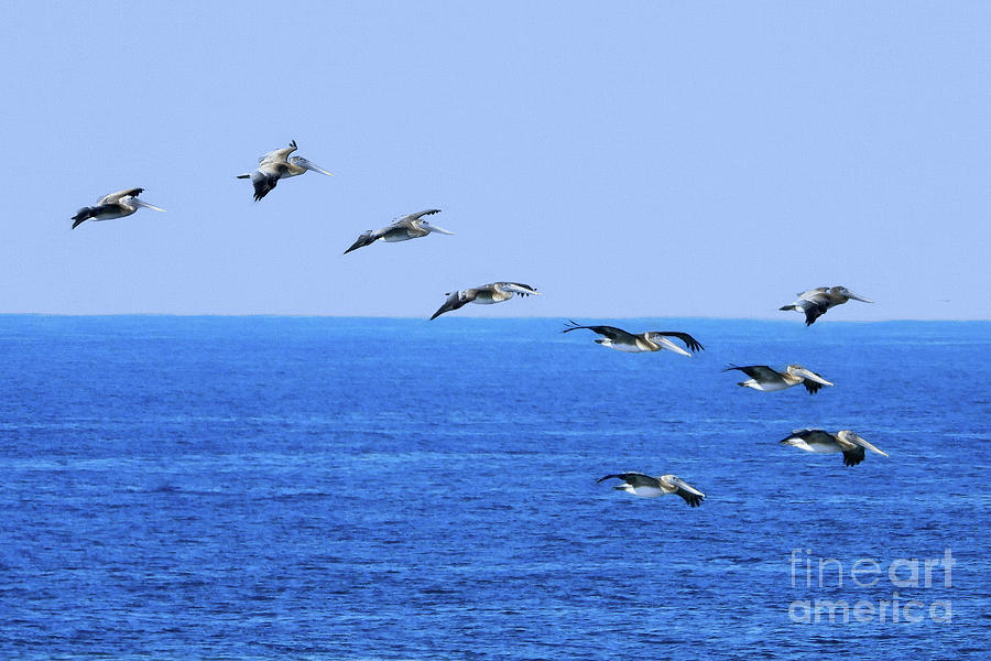 Brown Pelicans in Flight by Scott Cameron
