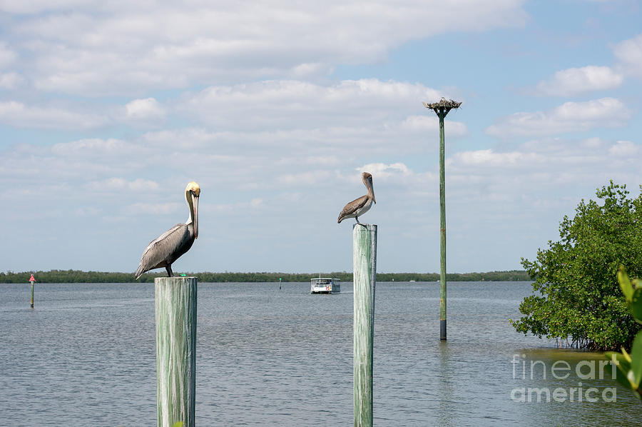 Ding Darling Photograph - Brown Pelicans On Pilings And An Osprey Nest In The Tarpon Bay A by William Kuta