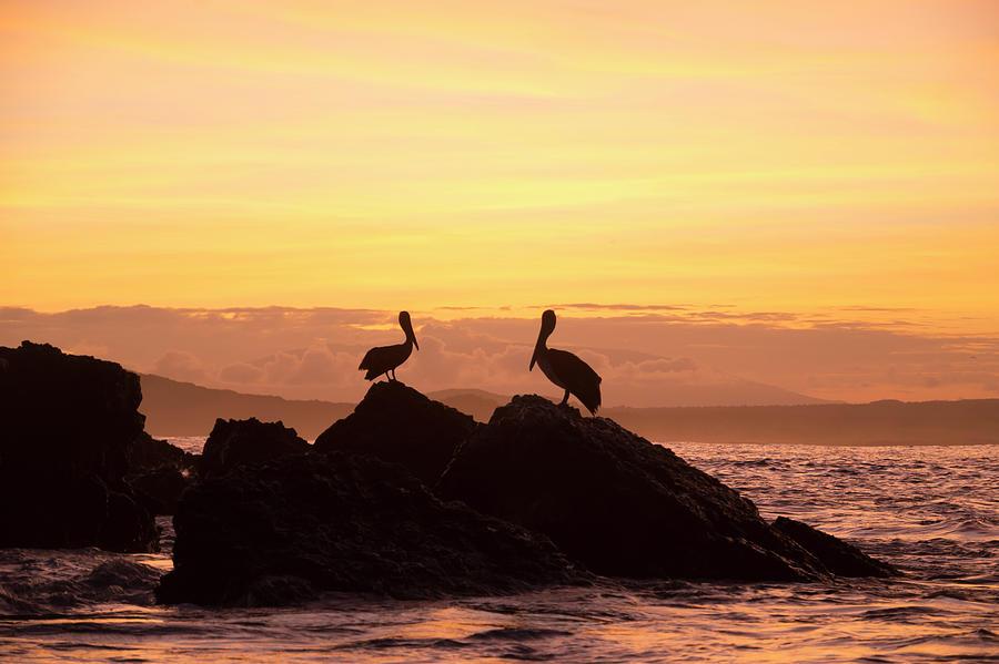 Brown Pelicans On Rocky Shore Photograph by Tui De Roy