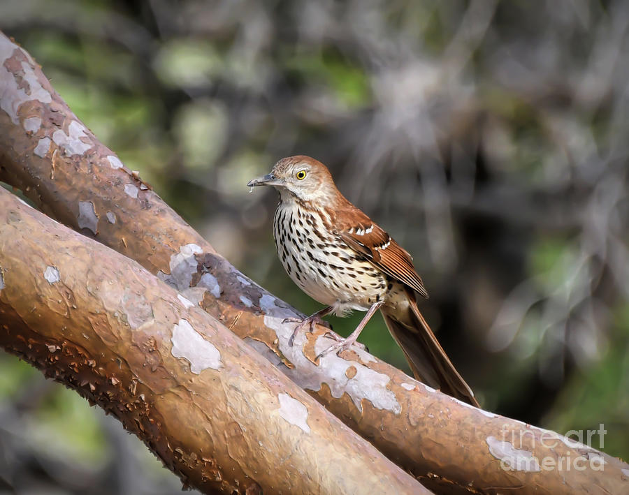 Brown Thrasher - Birds of Virginia by Kerri Farley