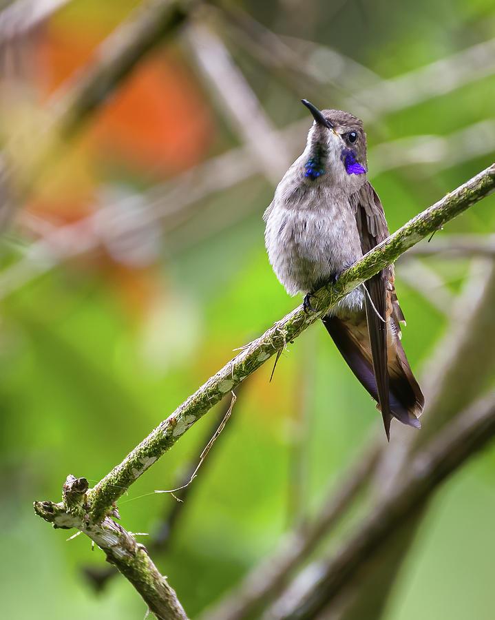 Brown Violetear Fincas Verdes San Antonio Tolima Colombia by Adam Rainoff