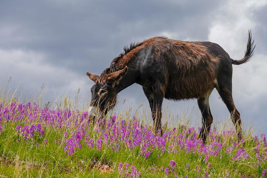 Brown Wild Burro by Susan Rydberg