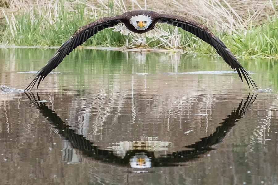 Eagle Photograph - Bruce the Bald Eagle by Steve Biro