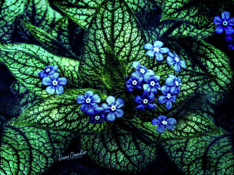 Brunnera by Diane Chandler