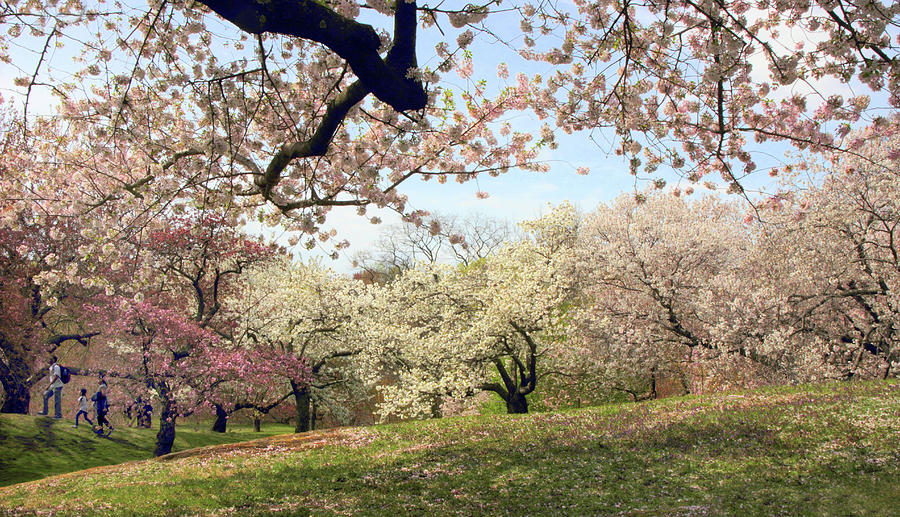 Cherry Trees Photograph - Joy In The Cherry Grove by Jessica Jenney